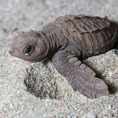 Turtle Time, Small Turtles, Wild Creatures, Tortoises, Little Pigs, Marine Life, Life Photography, Beautiful Creatures, Animal Pictures