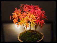 ヤマモミジ 紅葉のグラデーションが美しい