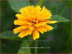Heliopsis helianthoides 'Asahi'   Zonneoog jul sept 80 z n