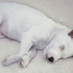 Do you look this relaxed on your bed? Cloud7 travel dog beds available at lavishtails.com.au #dog #dogs #puppy #pup