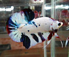 Archived Auction # - Fancy Dragon # 64 - Ended: Wed Jun 17 2015 Betta Fish Tank, Beta Fish, Colorful Fish, Tropical Fish, Fish Fashion, Oscar Fish, Siamese Fighting Fish, Beautiful Fish, Exotic Fish