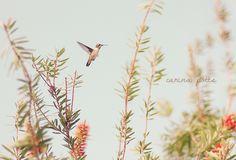 hummingbird | Carina Potts - Flickr - Photo Sharing!