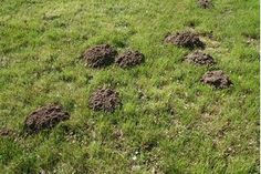 Moles living in your lawn can lead to dead plants, mounds of piled soil and damage to the grass. These small creatures are not rodents but are as pesky as them. They feed on grubs, worms and other lawn insects. Mole Removal Yard, Moles In Yard, Organic Gardening, Gardening Tips, Container Gardening, Mole Holes, Mole Repellent, Garden Pests, Gardens