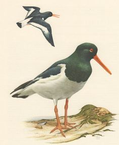 1956 Eurasian Oystercatcher Antique Print Vintage by Craftissimo, €12.95