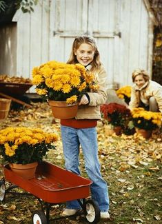 How to Store Mums for Winter. Move potted mums to a garage, covered porch, or another cool location that has temperatures above freezing for winter storage. Cut the foliage of these mums, Cut the foliage and keep the soil just slightly moist through the w Organic Gardening, Gardening Tips, Flower Gardening, Gardening Books, Potted Mums, Potted Plants, Caring For Mums, Fall Mums, Autumn Garden
