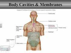 Description Dorsal bVentralb Body Cavitiesjpg  AP