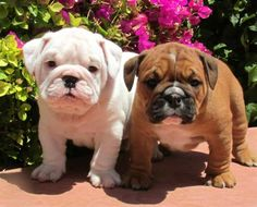 frug puppies - Google Search