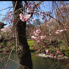 Cherry Blossom Happo-en Garden, Shirokane, Tokyo  This morning