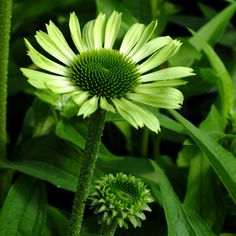 Image result for echinacea green jewel