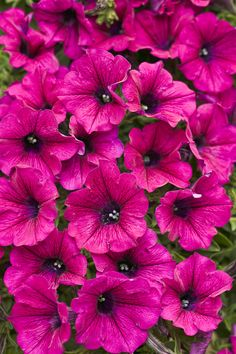 Supertunia® Mini Purple - Petunia hybrid-heat and drought tolerant, attracts butterflies and hummingbirds Petunia Tattoo, Trailing Petunias, Petunia Plant, Petunia Flower, Happy Tree Friends, Purple Plants, Purple Flowers, Looney Tunes, Gardening