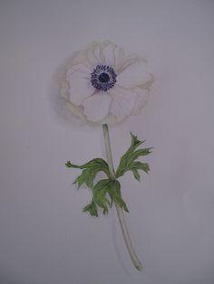 Anémone - Aquarelle botanique