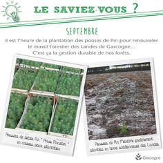 Infographie : En septembre, c'est le moment de plantation des Pins Maritime dans le massif forestier des Landes de Gascogne. #infographie #foret #bois #pin