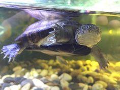 Turtle - Waterschildpad in Avonturia