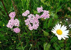 """Det finns ingen hejd på vad denna lilla blomma kan åstadkomma när det gäller hälsan! Örten rölleka har använts länge till hudvård bl a. """"Färsk och sönderstött mellan stenar pålägges den av bö…"""