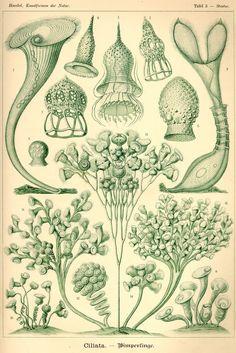 Ciliata - Kunstformen der Natur (1900)