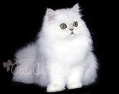 my dream cat...... Silver Doll Faced Chinchilla Persian. If I get a cat, it will be this one!