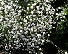 Gyspsophila - aka babies breath - used as white filler flower