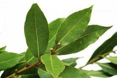 Beneficios y propiedades del laurel