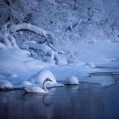 Lumijoutsen #Snowswan #joutsen #talvi #winter #winterland #suomi #lapland #laplandfinland #Finland @ourfinland #visitfinland #thisisfinland @thisisfinlandofficial #thisisfinlandofficial #pocket_frozen