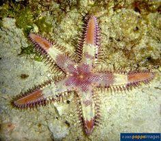 Star fishes - Astropecten species