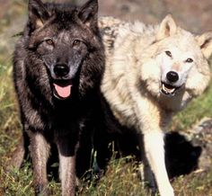 black and white wolves in love   ... Shenzi together as wolves i am the black wolf and she is white!!!vvv