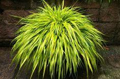 A szálkafű (Hakonechloa macra 'Aureola') gondozása