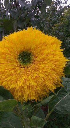 Yellow Gardening Tips, Beautiful Flowers, Fruit, Yellow, Music, Plants, Naturaleza, Musica, Musik