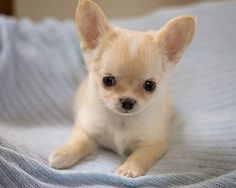 Sweet Long Coat AKC Baby Boy #Chihuahua Puppy | e-dogsite.com