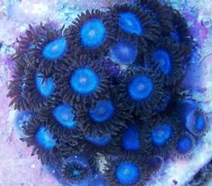 how fast do zoanthids grow - Google Search