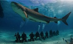 Pesquisadores da Universidade de Miami, fizeram um estudo para descobrir como o ecoturismo afeta o comportamento dos tubarões.