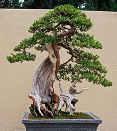 Bonsai is generally a tree or plant that has actually been kept smaller sized than its typical size. The technique to making a bonsai plant is to frequently prune the tree every spring Buy Bonsai Tree, Bonsai Tree Care, Bonsai Tree Types, Indoor Bonsai Tree, Bonsai Plants, Bonsai Garden, Bonsai Trees, Bonsai Making, Juniper Bonsai