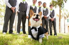 And here's a corgi infiltrating a wedding party in order to, one can only assume, save the world from a diabolical plan involving weapons a villain planted within the ceremony. | Irrefutable Proof That Corgis Are Actually Secretly Superheroes #corgi