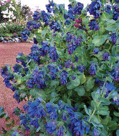 Cerinthe major purparescens Blue Honeywort
