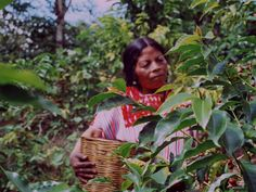 Cafedirect Fairtrade coffee Mexico