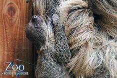 Naissance d'un paresseux au Zoo de La Boissière du Doré