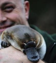 <b>There's really no animal quite as perplexing as the furry, duck-billed, web-footed, egg-laying platypus.</b> They also happen to be ridiculously adorable as babies.