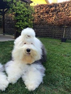 Old English Sheepdog Puppy, English Dogs, English Mastiff, Cute Dogs And Puppies, Big Dogs, I Love Dogs, Doggies, Beautiful Dogs, Animals Beautiful