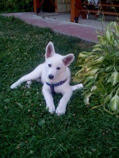 My little darling # Desan # - white swiss sheperd :))