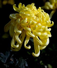 27 best curse of the golden flower images on pinterest golden flower golden flowerchrysanthemumchrysanthemum morifolium mightylinksfo