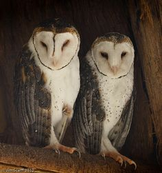 Masked Owls by Jim Scarff, via Flickr