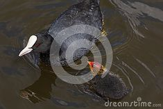 A coot and it`s hatchling are swimming in a park