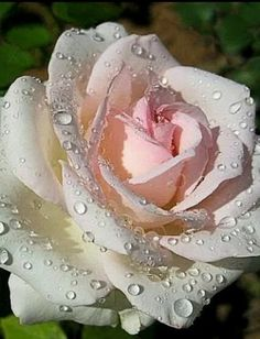 Rose is a rose. Need not be rose. Beautiful Rose Flowers, Love Rose, My Flower, Beautiful Flowers, Flowers Nature, Hybrid Tea Roses, Color Rosa, Flower Wallpaper, Pink Roses