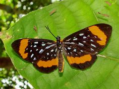 https://flic.kr/p/9Fwned | Stalachtis euterpe/metalmark--2 | Riodinidae/Metalmark Family.....Amazon River island near Manaus