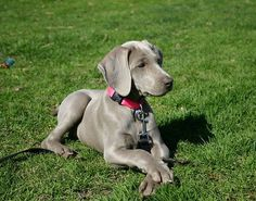 Our next dog will be a Weimy!!