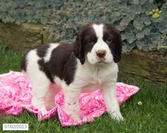 Tina - English Springer Spaniel Puppy for Sale in Shippensburg, PA - English Springer Spaniel - Puppy for Sale