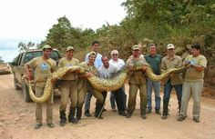 Anaconda — World's Largest Snake    Although it is not the longest snake out there, it is definitely the largest one. One even weighted about 500 lbs!