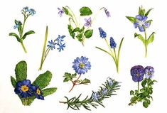 Blue Spring Flowers: includes forget-me-not, Scilla, violet, grape hyacinth, periwinkle, viola, rosemary, spring anemone, Primula species.