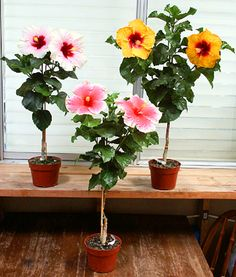 Plants & Flowers: Learn about growing hibiscus plants & flowers! Hibiscus is gorgeous, and growing hibiscus is one of the easiest garden ideas ever! Hibiscus Tree Care, Hibiscus Bush, Growing Hibiscus, Hibiscus Garden, Hibiscus Flowers, Growing Flowers, Exotic Flowers, Tropical Garden, Planting Flowers