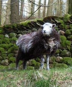 Mir geht es mehr um die Mauer im Hintergrund, aber die aufwändige Frisur ist auch nicht zu verachten! Herdwick sheep, Tarn Hows, Coniston