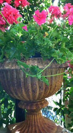 Geraniums in Antique Garden Urns. Joe Ruggiero's Garden.